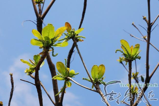 【别称】 山枇杷树,古巴梯斯树,榄仁,雨伞树,枇杷树,大叶榄仁树,凉扇